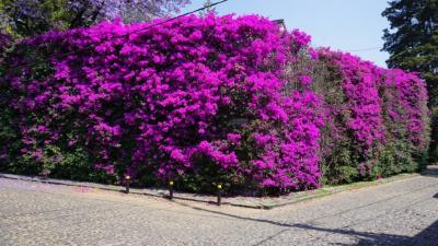 今年も旅行自粛のセマナサンタ。それでもサン・アンヘルとコヨアカンを散歩。チャプルテペックでハカランダの花見も。