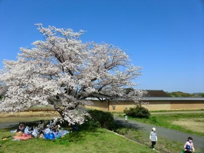 桜満喫平城宮跡
