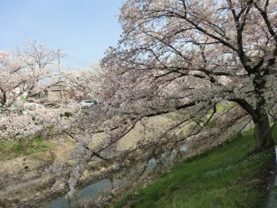 桜満喫佐保川の桜