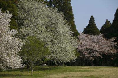 今年の花見は昭和の森