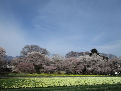山高神代桜に会いに行く@北杜市武川町 (笛吹市の桃の花には早すぎました)