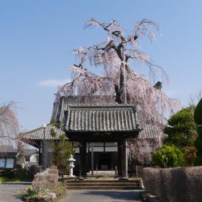 「満願寺」の枝垂れ桜_2021_満開間近で、見頃始まってました(栃木県・佐野市)