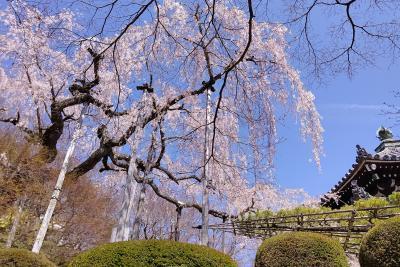やっぱり!京の桜の巻(了) 善峯寺・渉成園