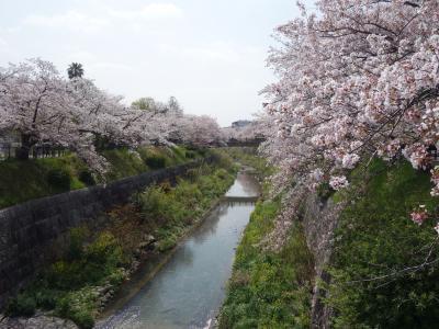 山崎川の桜も満開になりました。今年もきれいに咲きました。