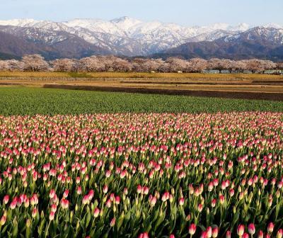 団塊夫婦の日本の絶景を巡るドライブ・春の富山ー(1)あさひ舟川の四重奏