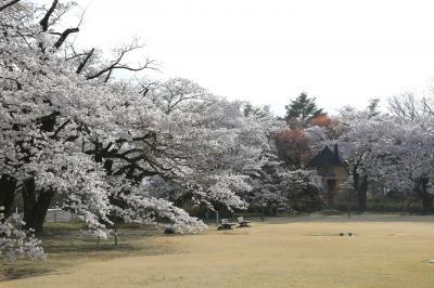 山梨 桜めぐり 2021
