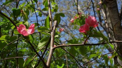 市役所へ行った序に、笹原公園へ桜を見に行きました その4。