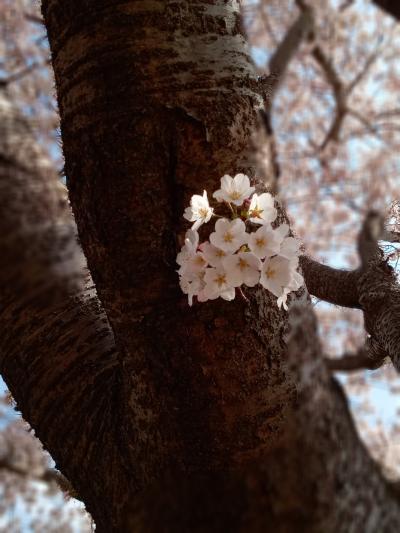 桜は散り際が一番美しい… 桜舞い散るオープンカードライブ♪