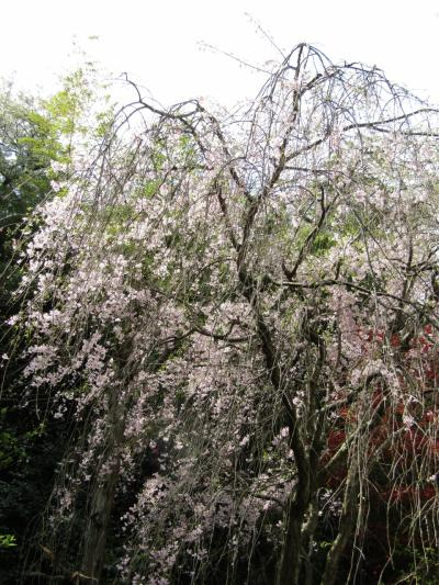堀内家の紅枝垂れ桜は散り始めです-2021年