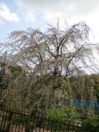 今年見付けた三枚畑の枝垂れ桜は葉桜ぎみです