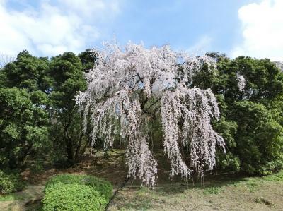 コロナウイルスを吹き飛ばしてくれるような、1本の「エドヒガン(江戸彼岸)の枝垂れ桜」。(2021)