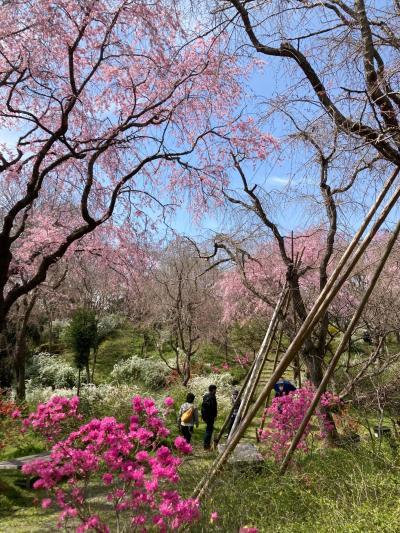 京都桜巡り 原谷苑  二条城 NAKED FLOWERS 2021桜 1泊2日
