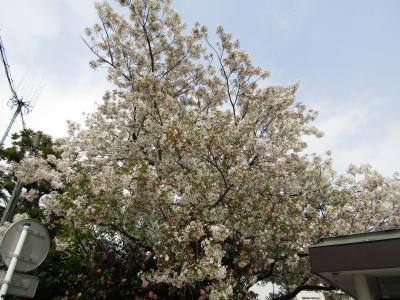 横浜女学院の丸屋根の体育館と校門横の大島桜-2021年春