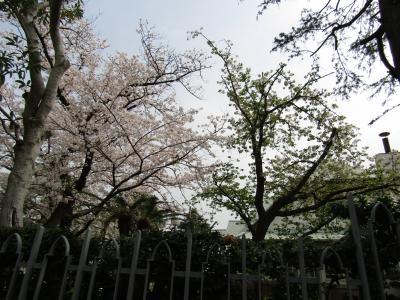 山手214番館と大島桜-2021年春