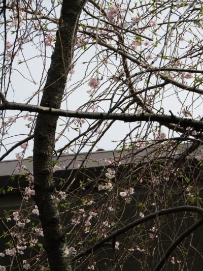 共立学園の枝垂れ桜