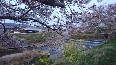 【旅行記じゃないけど】今日もいつもの所まで歩きましょう、桜はもう終わりね。<梅田川川岸>
