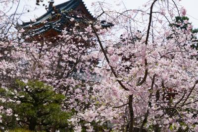 20210401-1 京都 平安神宮神苑の紅枝垂れ桜が見頃を迎えておりまして