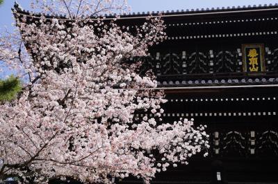 20210401-3 京都 そ言えば、こちらも綺麗やったっけ?と、知恩院の桜も観に寄りましょう
