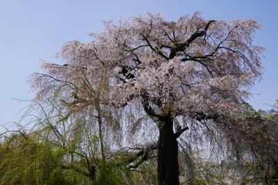 20210401-4 京都 円山公園も寄ってみましょうか