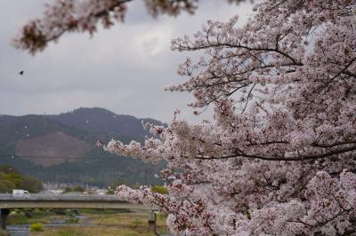 20210402-1 京都 北大路駅から上賀茂神社に向かう途中、半木の道の紅枝垂れ桜
