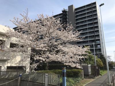 2021年 川崎大師の桜