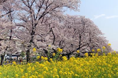 熊谷桜堤と渋沢栄一の足跡を訪ねて