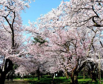 団塊夫婦の日本の絶景を巡るドライブ・春の富山ー(2)日本有数の桜の名所・高岡市内を巡る
