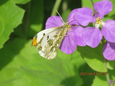 2021森のさんぽ道で見られた蝶②ツマキチョウ、ナミアゲハ、キタテハ、ルリタテハ他等