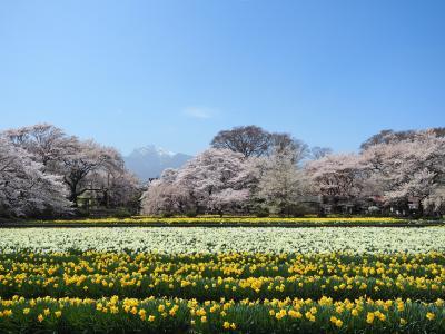憧れの風景に逢いに行く旅  【 日本三大桜 山高神代桜 】