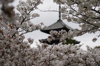 20210403-1 京都 仁和寺の御室桜がもう見頃ってんで、慌てて出かけまして…