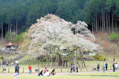 ■ 日本三大桜 根尾谷 淡墨桜 を愛でる旅 <岐阜県>