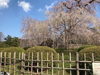 桜2021 京都 祇園 円山公園