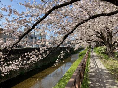 桜2021  京都 天神川の桜
