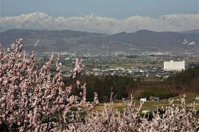 信州「松代町東条」の桜・杏花まつり