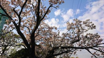 横浜市環境支援センターとこども植物園の遅咲きの桜