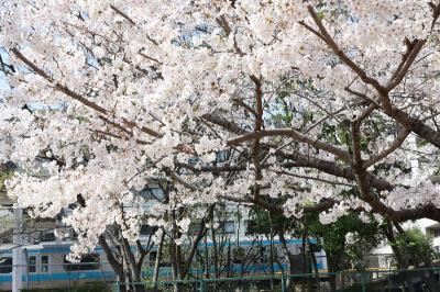 品川の線路沿い桜並木&大森貝塚