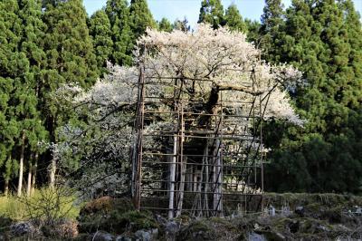 龍野西サービスエリアで鰻とろろ丼を食べてから樽見の大桜と初逢瀬