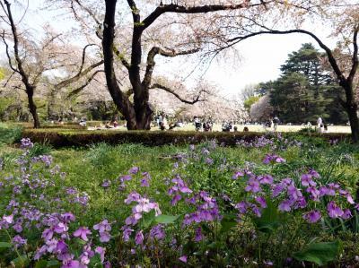 春爛漫・新宿御苑で桜を見る会
