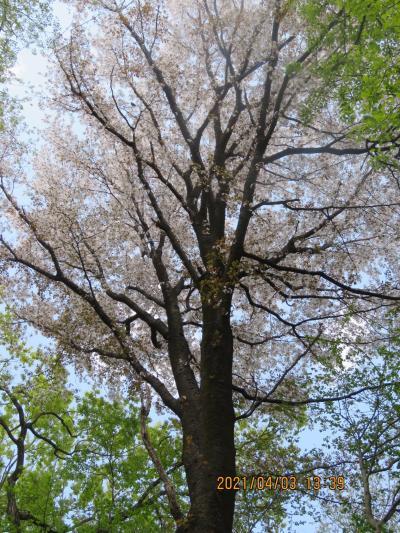 森のさんぽ道を散策・・山桜を求めて
