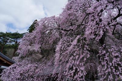 桜前線を追いかけて~奥州白河~