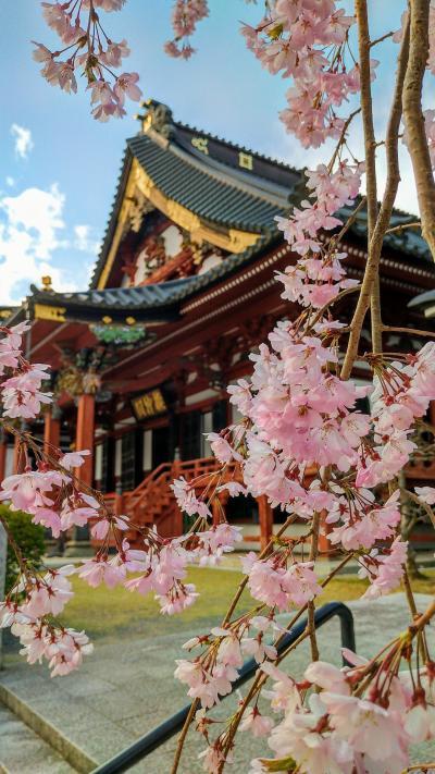 甲斐・駿河の桜(その1)
