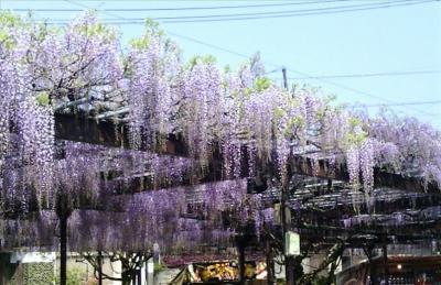 黒木の大藤祭りとグリーンピア八女で温泉を楽しむ春の一日(日帰り回想録No.8)