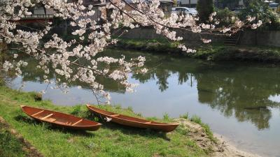 音羽川に和船浮かべて川から桜見学