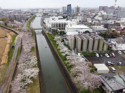 半田運河に和船を浮かべて桜と記念撮影