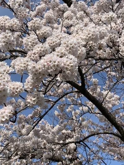 桜が咲いたあ。平年より15日も早い。