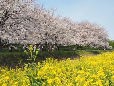 2021年お花見(権現堂桜堤&井の頭公園)
