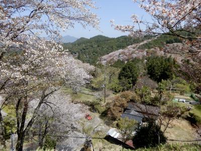 よき日を見定めて、今年も登って来ましたピンクに染まる『吉野山』