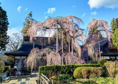 甲斐・駿河の桜(その2)