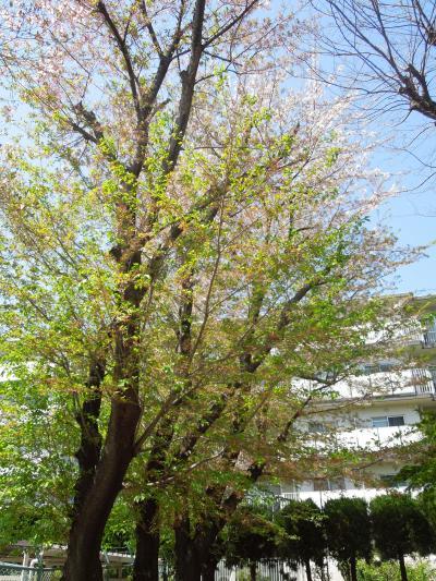満開を過ぎた西鶴ケ岡公園の桜と風景