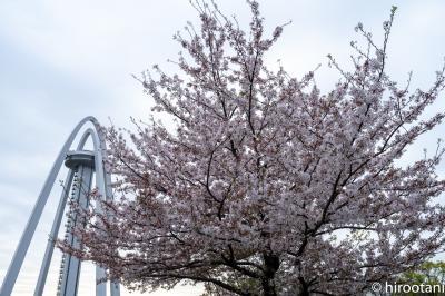2021 木曽川堤の桜
